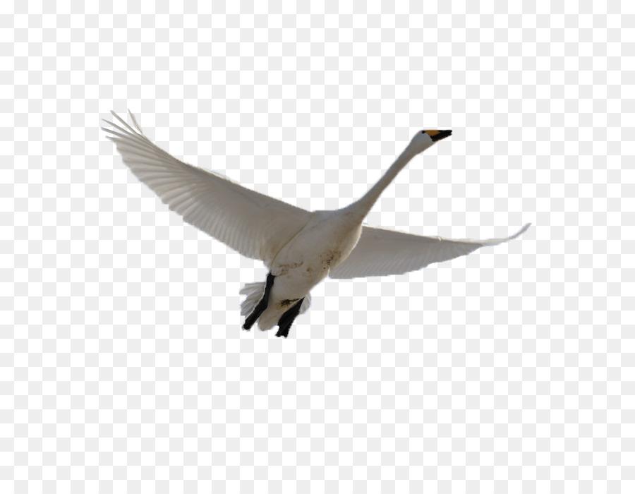 Картинка летящий лебедь анимация, днем