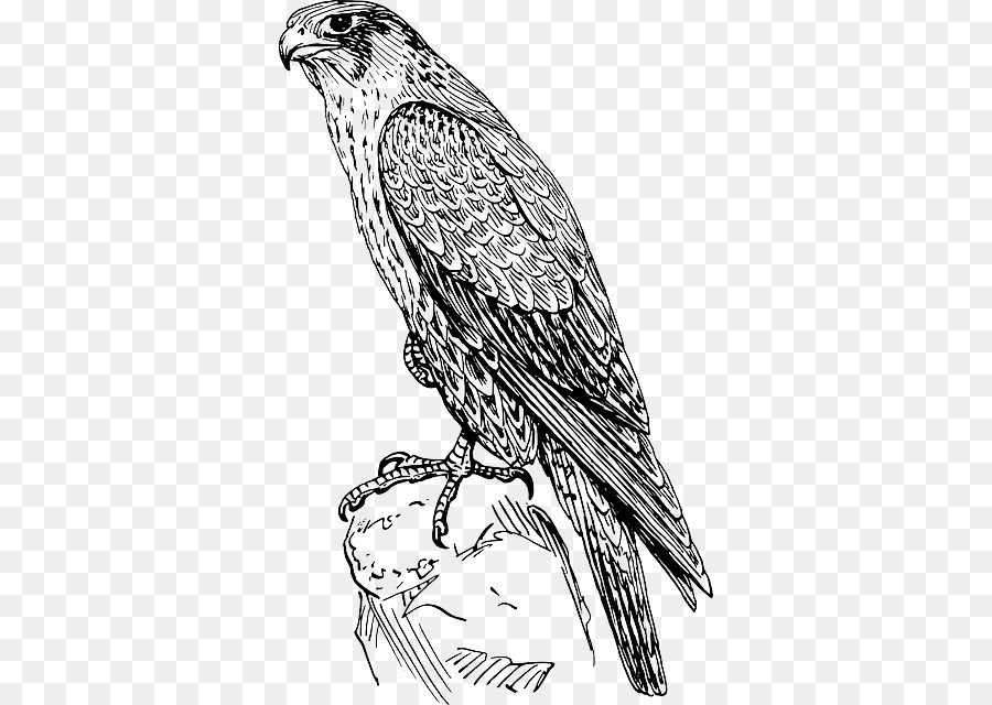 Boyama Kitabi Kucuk Resim Peregrine Falcon Cizim Buttyful